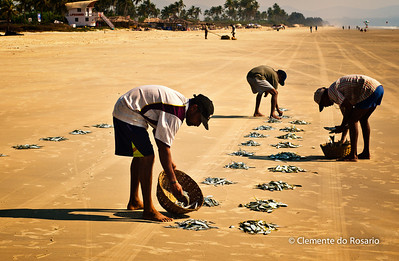 "Fishermen sharing the ""catch"" on Varca Beach South Goa India"