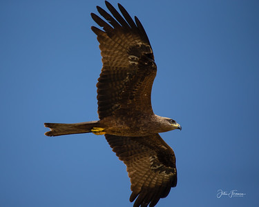 Black Kite, Goa