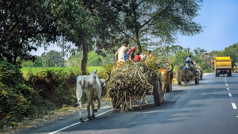 Ox Carts carrying sugar cane