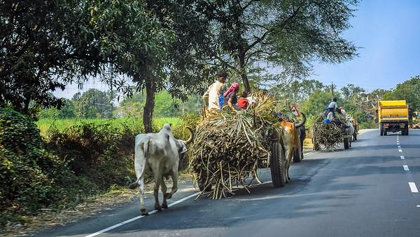 Ox Carts carrying sugar cane