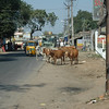 All of the foreigners were fascinated to see the cows and oxen walking freely in the streets.