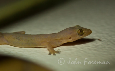 House Gecko, Alleppey