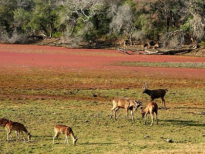 The larger deer on the right are sambar