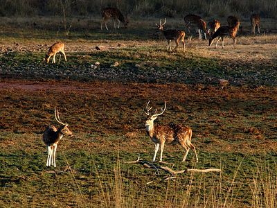 These are spotted deer, and are very common in the reserve