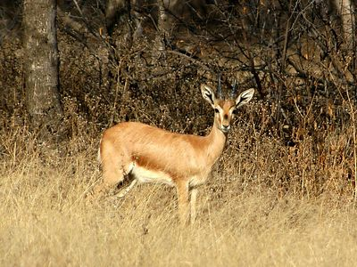 And this is an indian gazelle