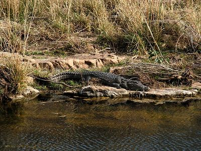 Crocodiles were very common throughout the reserve