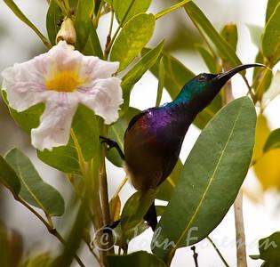 Purple sunbird, Kerala