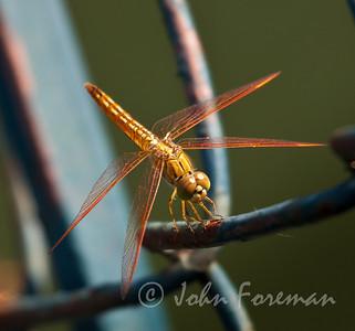 Female Common Amberwing, Kumaracom