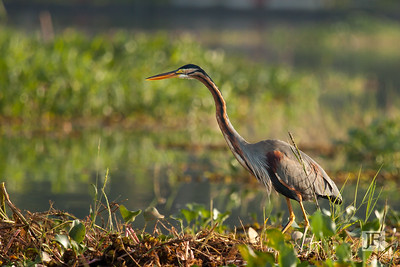 Purple Heron, Lake Vembanad