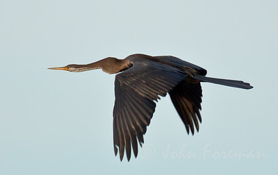 Indian Darter, Kerala