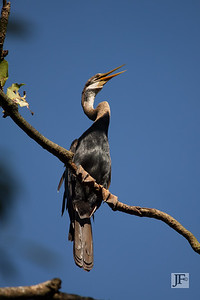 Indian Darter, Lake Vembanad