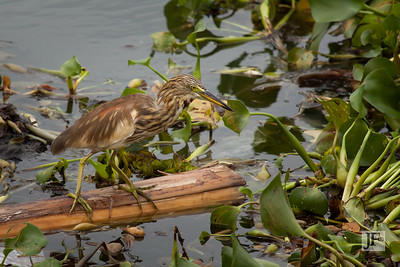 Indian Pond Heron, Kerala