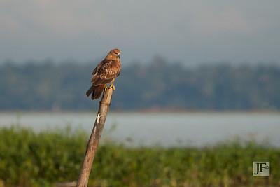 Brahminy Kite, Lake Vembanad