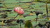 A nice, ( and dirty) lotus pond in Lalbagh.