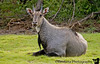 the Nilgai or the blue bull in Bharatpur
