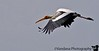 the painted stork in flight.