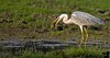 April 14, 2006 - early morning birding in Bharatpur with Sajan Singh. the grey heron does the flip