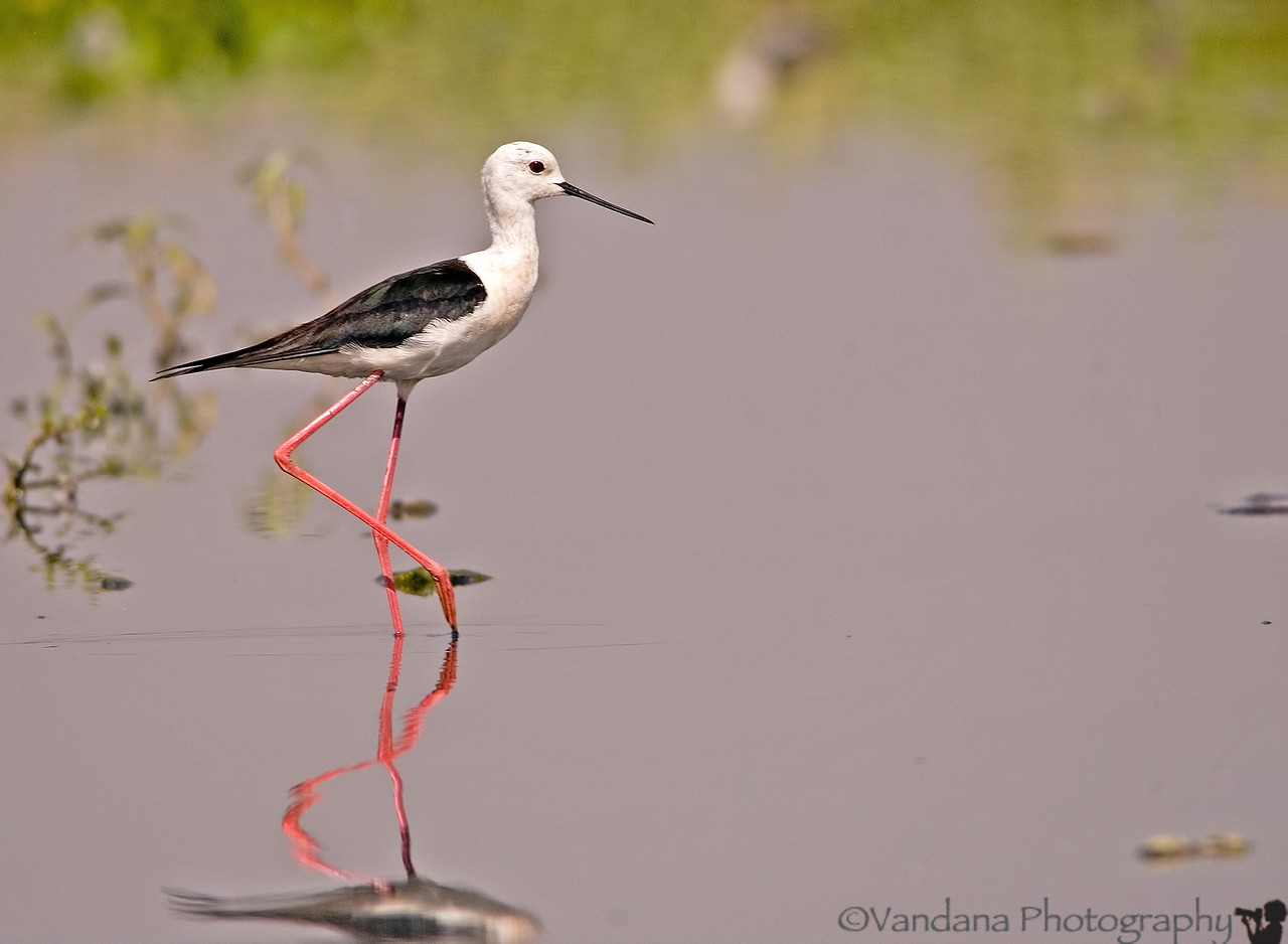 the Black-winged stilt standing pretty in the Okhla waters