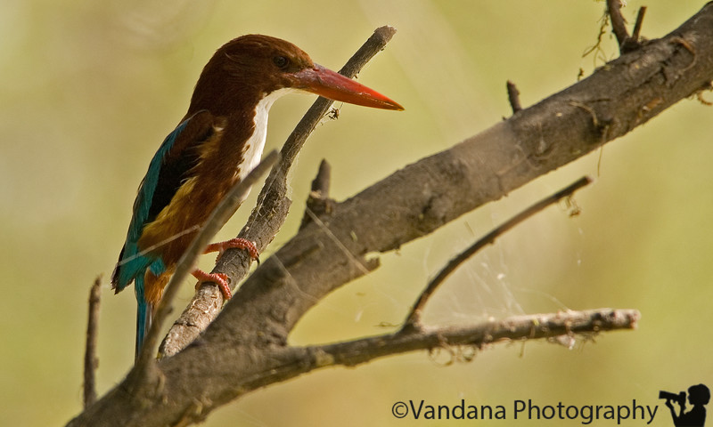 """Reach Bharatpur bird Sanctuary - Birding on a rickshaw driven by Sajan Singh. He is not only a rickshaw driver but an avid birder and guide. My first kingfisher which seems to be a relatively common bird in India.More pics from <a href=""""http://vandana.smugmug.com/gallery/1415151"""">Bharatpur</a>"""