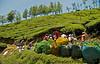 "Tea pickers at work.. More pics  from <a href=""http://vandana.smugmug.com/gallery/1480217"">Munnar</a>"