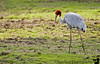 the Sarus Crane. Till recently the Siberian cranes used to make an appearance at Bharatpur but of late, the numbers have decreased to minimal if any due to drought, ?global warming and recent weather conditions.