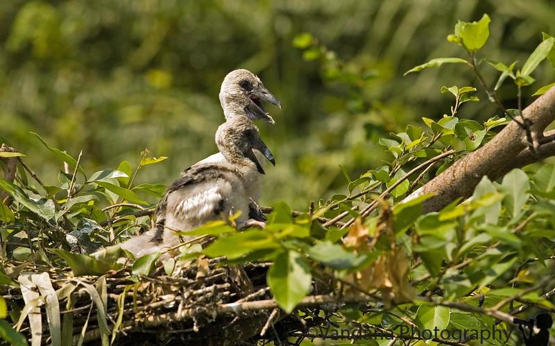 Little kiddos of the common stork in Ranganathittu.