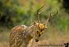 April 17, 2006 - early morning at Jhirna gate guesthouse. Great indian food. Dad tries to get too friendly with this male Chital ( spotted deer). Chital shows him what he can do.A day out into Corbett again looking again for tigers.