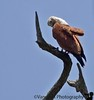 Reach Periyar Wildlife Sanctuary. Terribly organized, huge crowds stand/sit in long lines waiting for a ticket to get on a boat. Is it the communist rule here that so sucks?! I wander around taking pictures while K stands in the line for about 2-3 hrs ! this Brahminy ( why a casteist name ?!) kite patiently sits here. I go and complain to the one English speaking guy around here regarding poor organization,need for more boats etcetc.. I use one curse word, but I don't get arrested :)It's a beautiful place, it could be so much better.