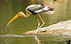 """April 20, 2006 - start a trip across South India - 1st stop - Ranganathittu bird Sanctuary near Mysore. The name apparently means - 'little island of Rangana'. A boat ride takes us to little islands full of birds. especially the painted stork which seems to be nesting.More pics from <a href=""""http://vandana.smugmug.com/gallery/1414902"""">Ranganathittu</a>"""