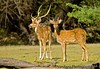 The spotted deer ( chital) both male - the one with the antlers and the female.