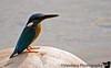 A white-breasted (?) Kingfisher on the lookout for fish. Most people here know the kingfisher from a common beer brand !