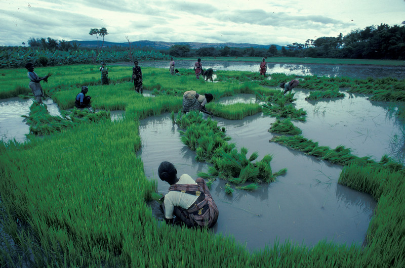 Rice Fields, South India