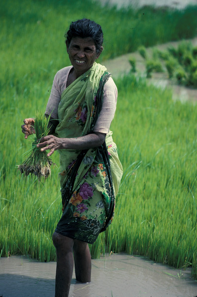 Indian Rice Field