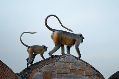Gray Langurs, Jaipur