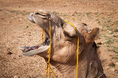 Camel yawning
