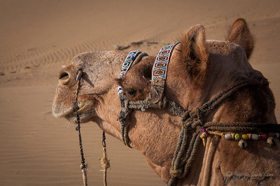 Camel at Thar Desert  of Rajasthan