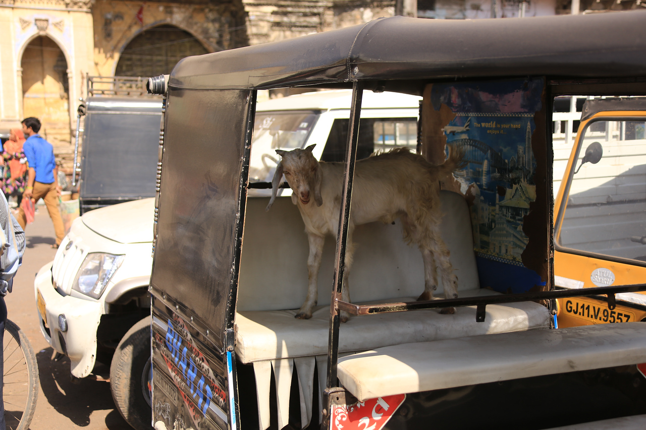 Playful goat jumped into back seat of a parked auto rickshaw