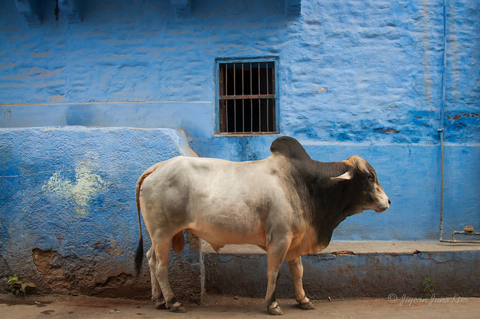 A cow in Jodhpur, Rajasthan, India