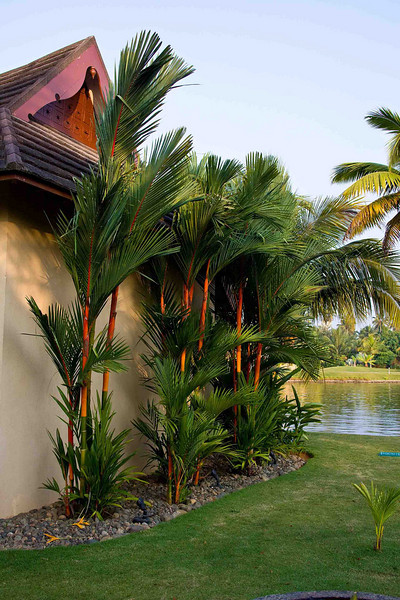 Rare red-trunked palms.