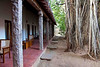A 200 year old banyan tree outside our room at the Heritance Hotel
