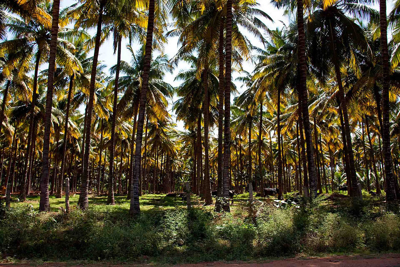 One of hundreds of coconut plantations
