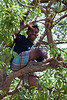 Shaking tamarind pods from the branches above to the gatherers below.