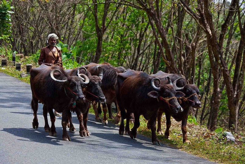 Water buffalo on the move.