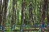 A rubber plantation. The blue bags keep water out of the tree wounds.