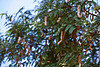 Tamarind tree