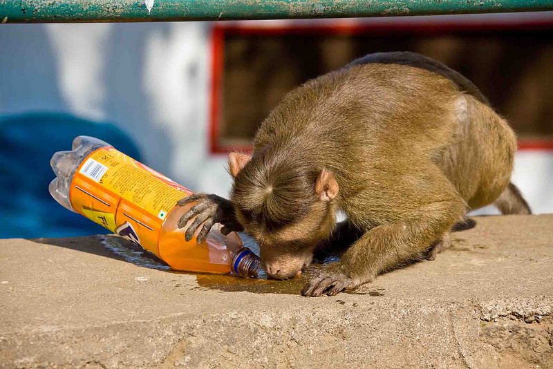 This monkey found a half-full/half-empty bottle of Orange Fanta upright on top of a wall. He tipped it over to drink the spilled contents.