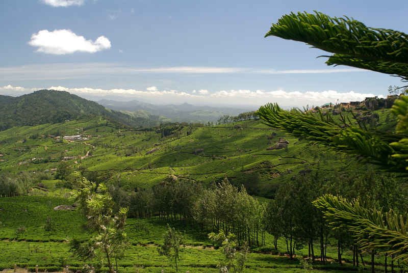 Rolling Carpet of Tea plantation in Munar seen from the Club Mahanidra Resort