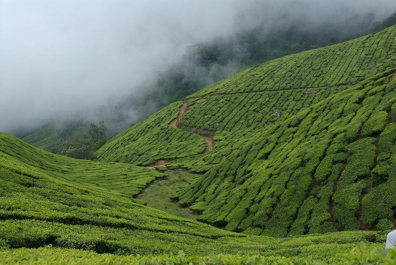 Rolling hills of Tea.