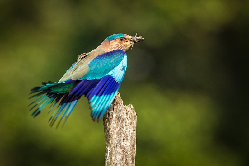 The Feast of the Lilac-Breasted Roller