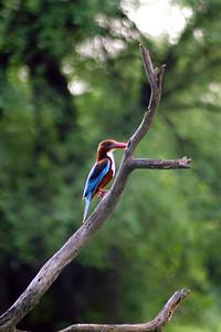 Kingfisher in Keoladeo Ghana National Park